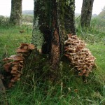 The deer hereabouts obviously have a taste for funghi.....